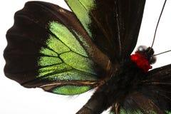 Raja Brooke tropiska Birdwings- buttelfly Royaltyfria Foton