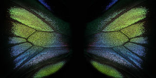 Raja Brooke tropiska Birdwings- buttelfly Arkivbild