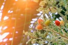 Raja Lipstick Palm Cyrtostachys-renda Dichtungswachs, Lippenstift, Raja, Zierpflanze Maharadschas im Garten mit hellem Sonnenaufg stockfotografie
