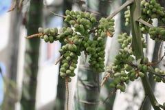 Raja Lipstick Palm Sealings-Wachs, Lippenstift, Raja, Zierpflanze Maharadschas im Garten wählen Sie Fokus mit flacher Tiefe von f lizenzfreies stockfoto