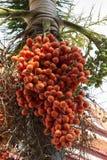 Raja palma Fotografia Stock