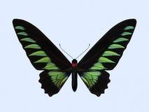 Rajah Brooke Birdwing, Trogonoptera - Brookiana Zdjęcia Stock