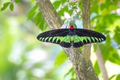Rajah Brooke motyl w ogródzie fotografia stock