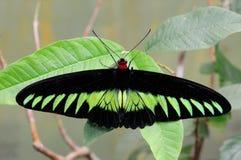 Rajah Brooke's Birdwing Stock Image