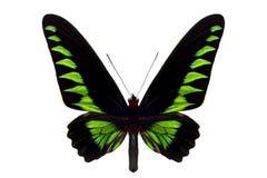 Rajah Brooke's Birdwing Royalty Free Stock Photos