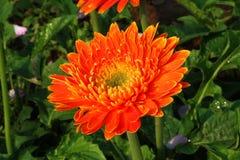 Rajapruek real bonito do parque do Gerbera Imagens de Stock Royalty Free