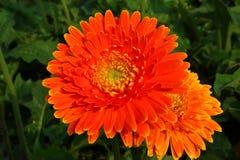 Rajapruek real bonito do parque do Gerbera Fotografia de Stock Royalty Free