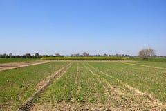 Rajasthan-Ackerland mit Feld von jungen Erbsenanlagen Lizenzfreie Stockbilder