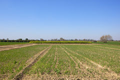 Rajasthan farmland with field of young pea plants Royalty Free Stock Images