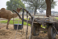 Rajasthan India camel in rural area Stock Photos