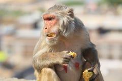 Rajasthan, Jaipur, indische Affen eingelassenes Galata Lizenzfreies Stockbild