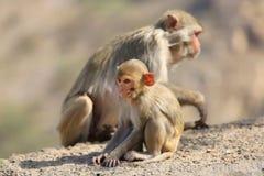 Rajasthan, Jaipur, indische Affen eingelassenes Galata Lizenzfreies Stockfoto