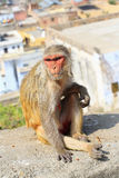 Rajasthan, Jaipur, indische Affen eingelassenes Galata Stockbilder