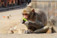 Rajasthan, Jaipur, indische Affen eingelassenes Galata Stockfotos