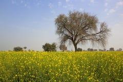 Rajasthan musztardy uprawa Zdjęcia Stock