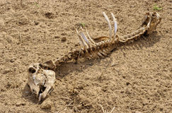 Rajasthan skeleton Royalty Free Stock Photo