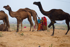 Rajasthani rural women collecting camel stool to use these as fuel at home. Rajasthani rural women collecting camel stool from the fair ground of  Pushkar Royalty Free Stock Images