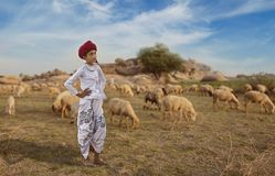 Rural Herding. Rajasthani tribal boy wears traditional colorful casual and herding flock of sheeps in field stock images