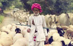 Rural Herding. Rajasthani tribal man wears traditional colorful casual and herding flock of sheeps in field stock images