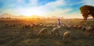 Rural Herding. Rajasthani tribal man wears traditional colorful casual and herding flock of sheeps in field Stock Image