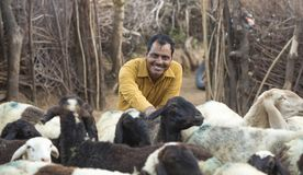 Rural Herding. Rajasthani tribal man wears traditional colorful casual and herding flock of sheeps in field royalty free stock images