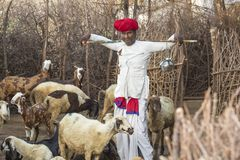 Rural Herding. Rajasthani tribal man wears traditional colorful casual and herding flock of sheeps in field royalty free stock photo