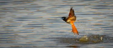 Raju Flycatcher Obrazy Stock