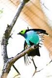 Raju Tanager Zdjęcie Royalty Free
