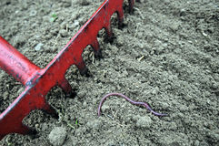 Rake And Earthworm. Red old rake preparing the ground. Earthworm (Lumbricus terrestris) on surface of soil Royalty Free Stock Photo