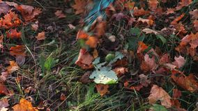 Rake on the fallen leaves. In autumn day stock footage