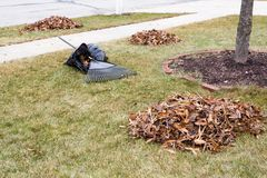 Raked autumn leaves on a mowed lawn in a garden. Collected into a neat pile ready to be placed in black bags for disposal with a rake lying on one bag Royalty Free Stock Image