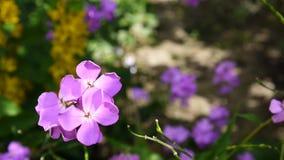 Raket för ` s för HesperismatronalisDame tät blommapurple upp arkivfilmer