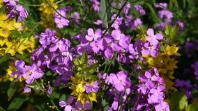 Raket för ` s för HesperismatronalisDame tät blommapurple upp stock video