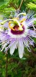 Rakhi-Blumen-Schönheitsnatur in der Regenzeit stockbilder