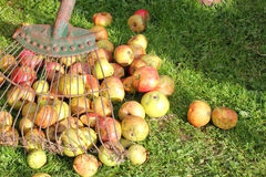 Raking apples from the grass. Royalty Free Stock Photo