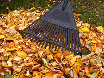 Raking autumn leaves. Raking a pile of colorful fallen autumn leaves in a yard Royalty Free Stock Photography
