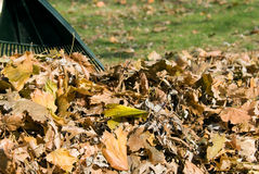 Raking autumn leaves Royalty Free Stock Photo