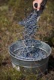Raking Blueberries Royalty Free Stock Images
