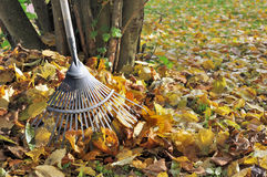 Raking dead leaves royalty free stock photo