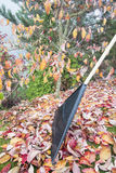 Raking Fall Leaves in Garden Vertical Side View Stock Photography