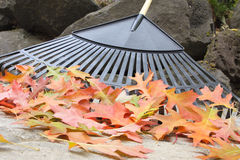 Raking Fallen Oak Leaves Closeup Stock Photography