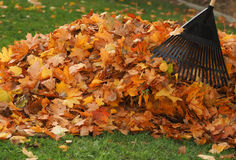 Raking leaf pile Stock Image