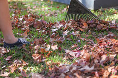 Raking leaves in Autumn in the garden. Doing Garden maintenance. Royalty Free Stock Photography