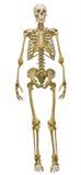 Rakt framifrånt mänskligt skelett på vit Arkivbilder