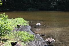 Geese standing in water on lake stock photography