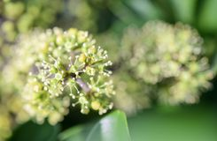 Raliaceae Ahefflera Στοκ εικόνα με δικαίωμα ελεύθερης χρήσης