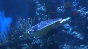Rallentatore Vicino alla macchina fotografica fa galleggiare una grande tartaruga archivi video