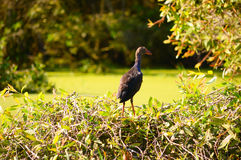 Rallidae in Tra Su forest Royalty Free Stock Photos