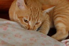 Mordida impertinente do gato uma almofada Foto de Stock Royalty Free