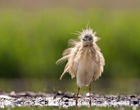 Ralreiger, Squacco苍鹭, Ardeola ralloides 图库摄影